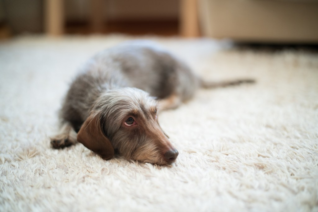 Dachshund with separation anxiety looking sad laying on the carpet alone