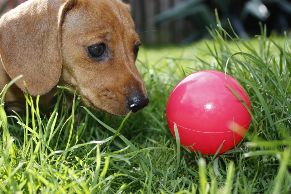 What should I expect a few months after getting a dachshund? Dachshund puppy playing with a red ball in the garden