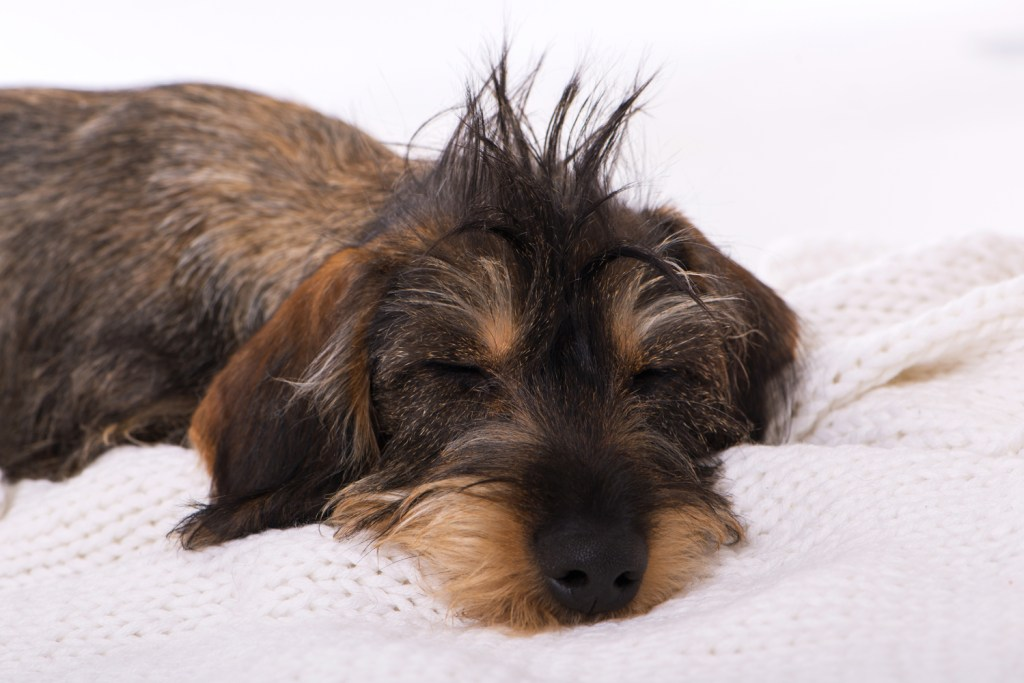Wire-haired dachshund puppy asleep on a blanket