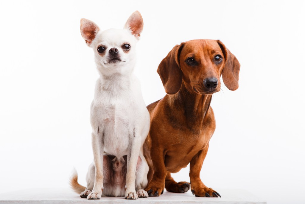 When is the right time to get a second dog? Dachshund stood happily next to another breed