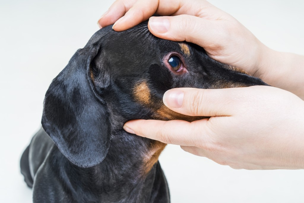 What Health Problems Are Dachshunds Prone To? Dachshund having his eyes checked