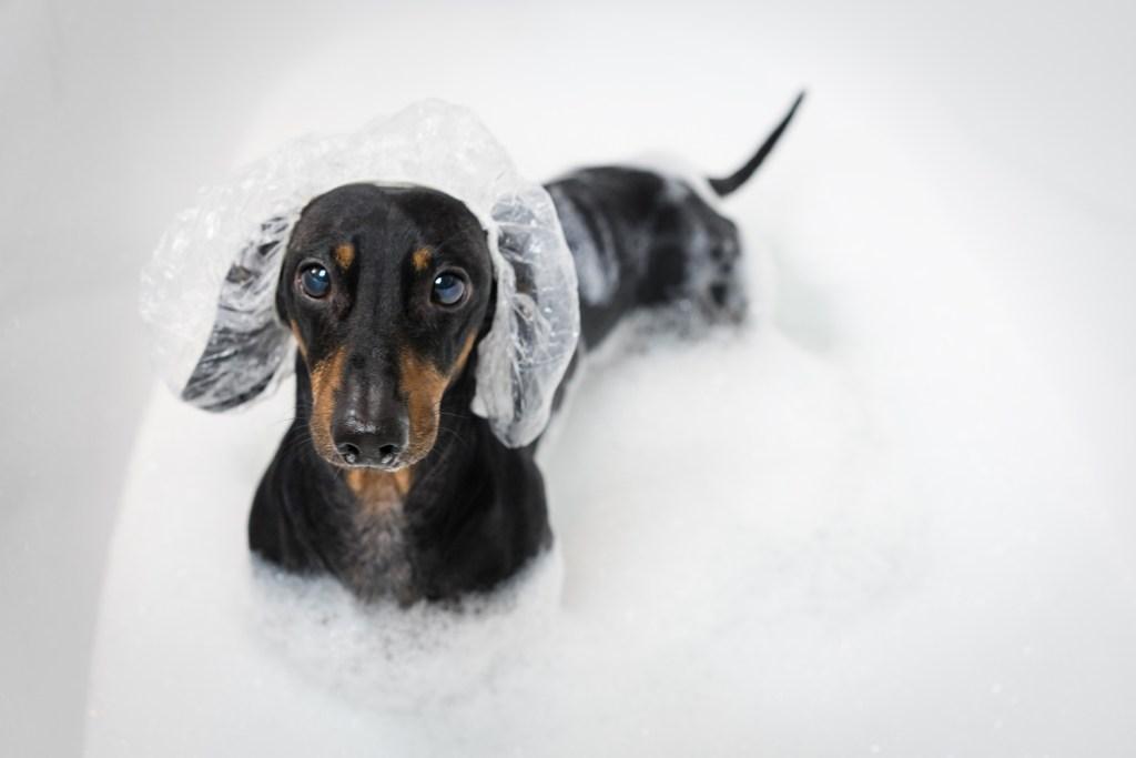 Dachshund in the bath covered in shampoo