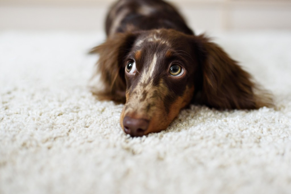 Why Do Dachshunds Shake?  Dachshund shaking for attention