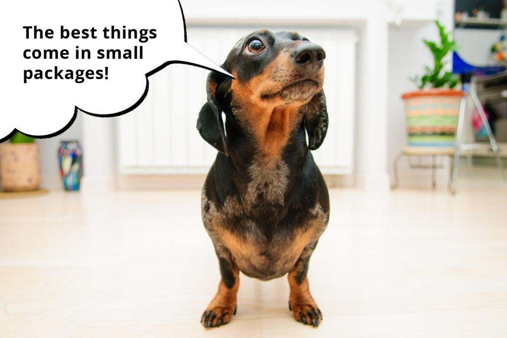 101 things dachshunds want you to know. Miniature dachshund sitting on the floor in an apartment