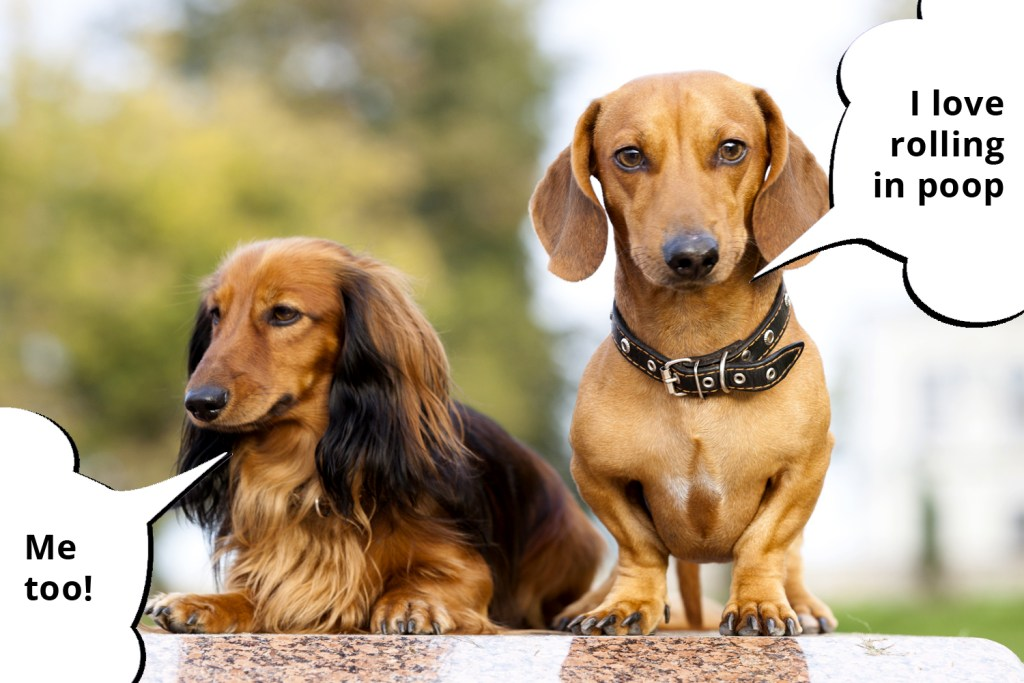 A smooth-haired dachshund and a long-haired dachshund sat in the garden together