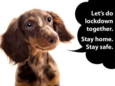 dachshund coronavirus on lockdown