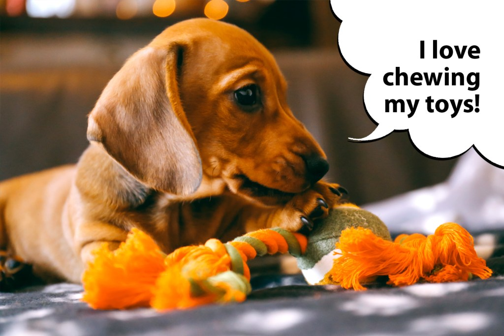 Dachshund puppy biting and chewing his toys