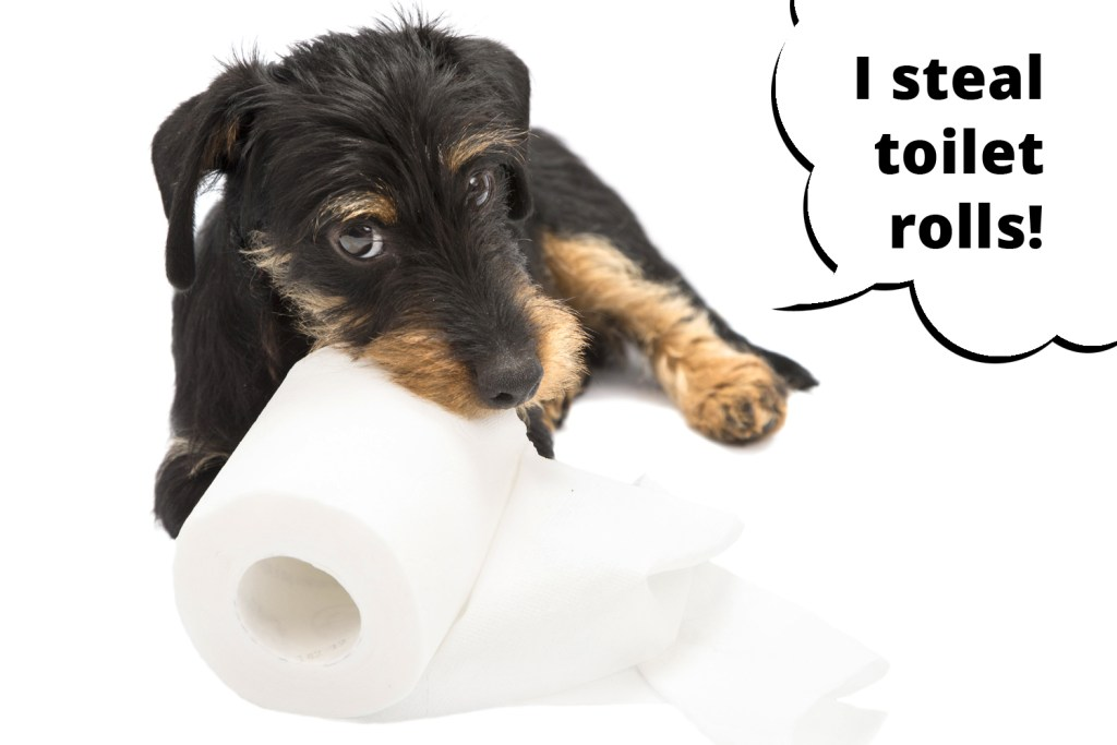 Dachshund stealing the toilet roll