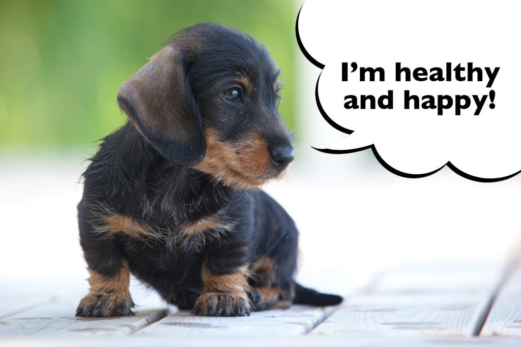 KC Registered dachshunds have a better chance of being happy and healthy