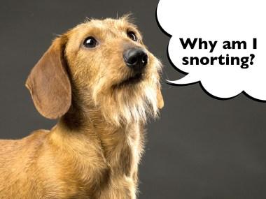 dachshund reverse sneeze