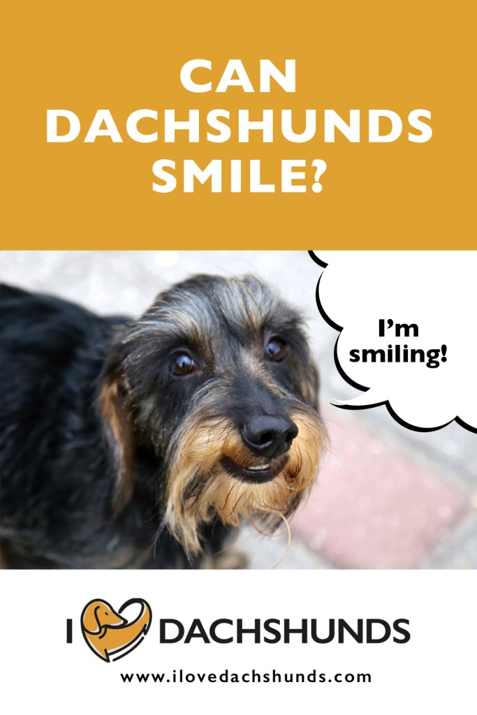 can dachshunds smile