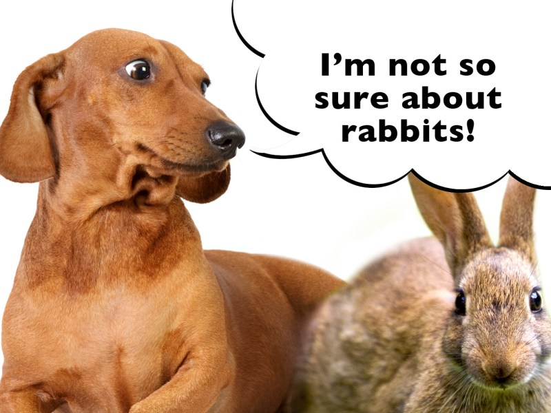 can dachshunds live with rabbits