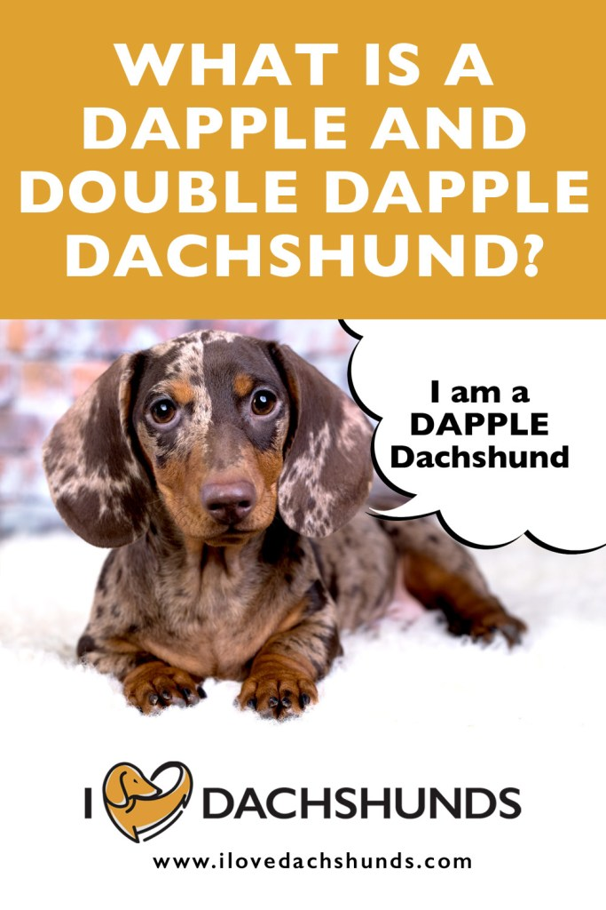What is a dapple and double dapple Dachshund?