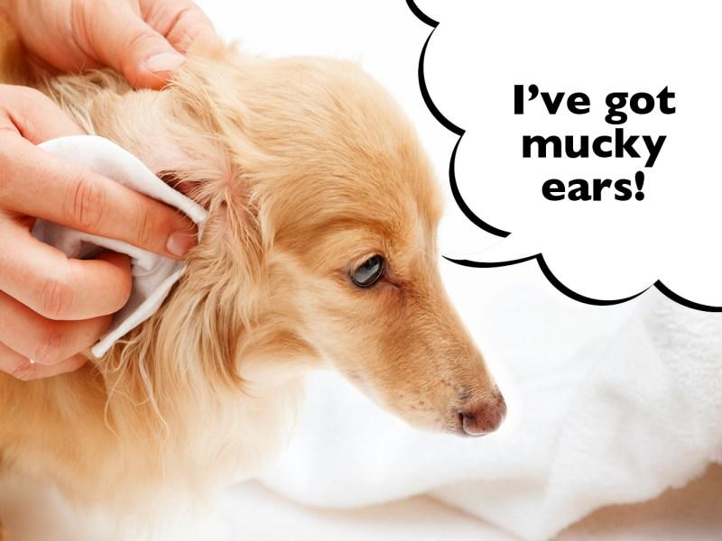 How to clean a Dachshund's ears