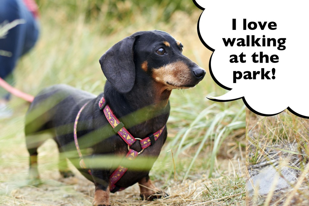 Dachshund walking on leash at the park with his owner
