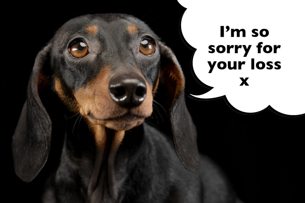 Dachshund offering words of deepest sympathy to their owner