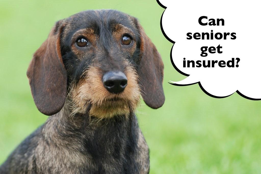 Senior Dachshund pet insurance
