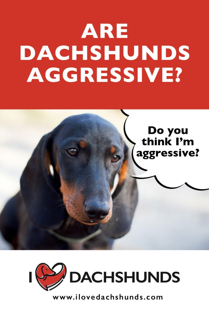 Are Dachshunds Aggressive?