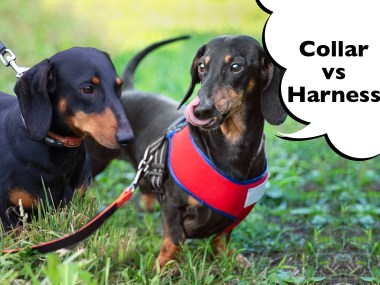 Dachshund collar vs harness