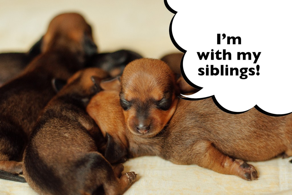 Puppy Dachshund siblings sleeping together