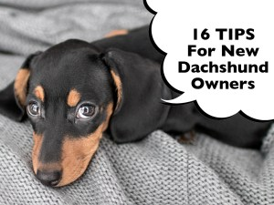 Dachshund New Owner Tips