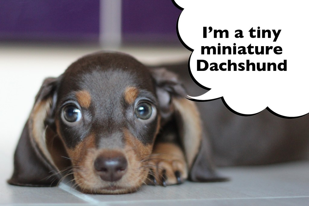 Toy or Teacup sized miniature Dachshund puppy laying on the floor