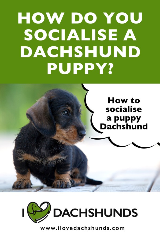 How To Socialise A Dachshund Puppy