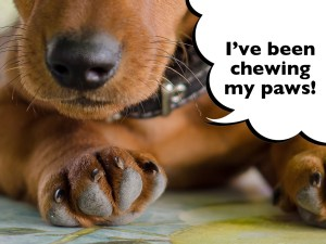 Why do Dachshunds chew their feet