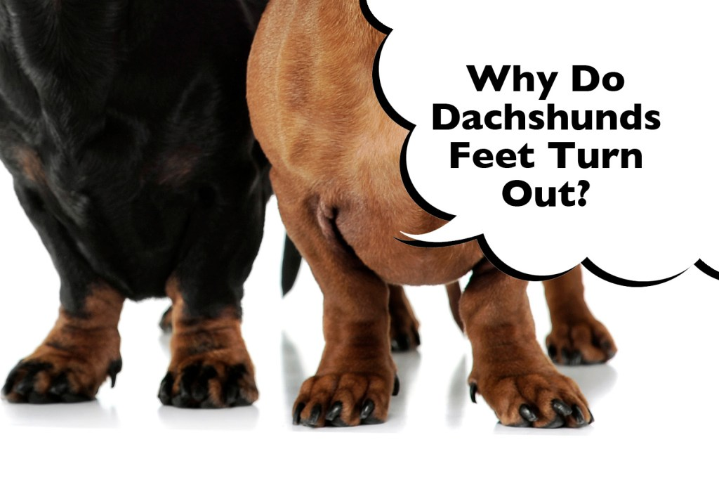 Dachshunds with turned out feet