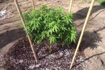 Outdoor cannabis growing basic soil requirements