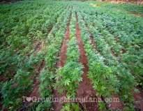 Loamy soil outdoor cannabis growing