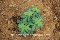 Sandy soil outdoor cannabis growing