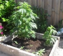 Soil mix cannabis outdoor container