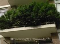 How to grow cannabis on your balcony?