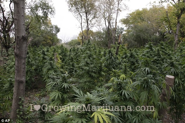Growing Cannabis Outdoors A Detailed Guide TheJointBlog