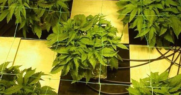 Advantages of hydroponics marijuana