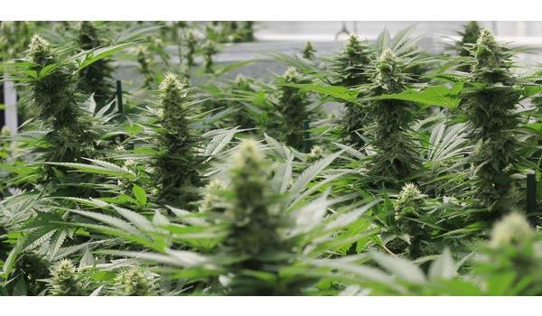 White Widow Strain Growing-Buy white widow weed online-medical marijuana dispensary near me