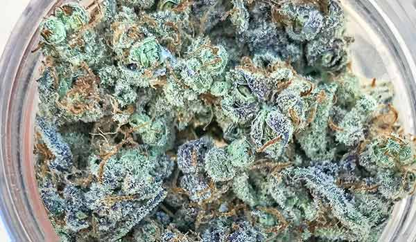 Majestic 12 Strain Medical colorado online dispensary shipping worldwide