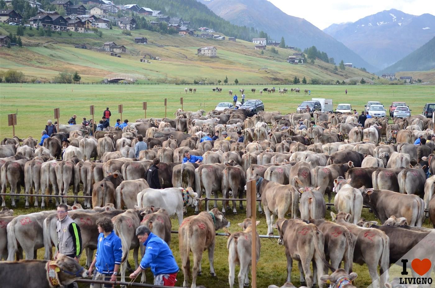 Livigno, con Alpen Fest si festeggia la transumanza dalle malghe – I ...