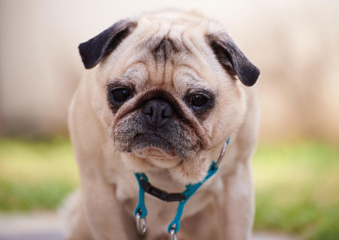 I Love Pugs 2017 Calendar I Love Pugs
