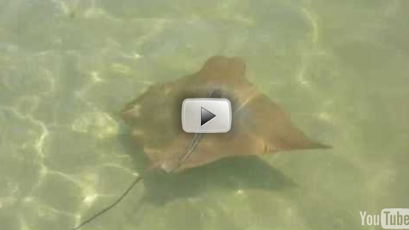 Cownose Ray Video!