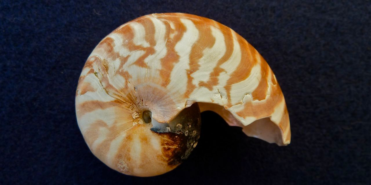 Nautilus Shell Found