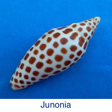 Junonia ID
