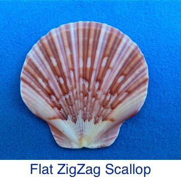 Scallop - Flat ZigZag