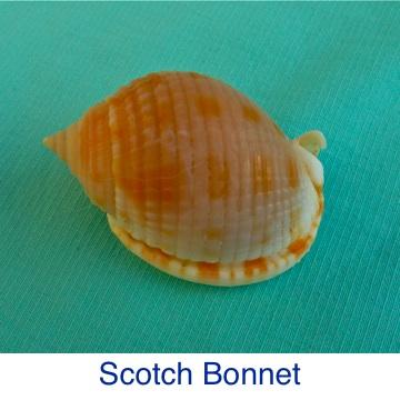 Scotch Bonnet ID