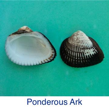 Ark - Ponderous ID