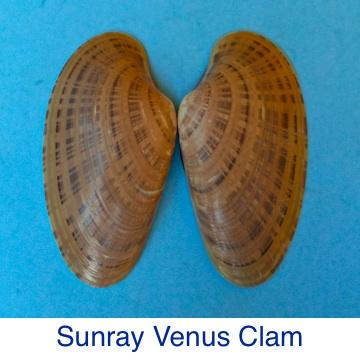 Clam- Sunray Venus ID
