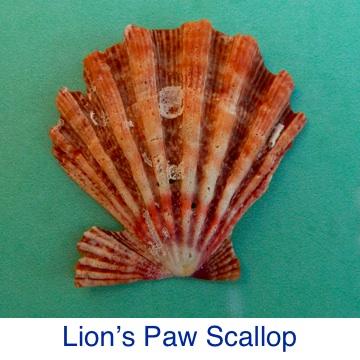 Lion's Paw Seashell Identification
