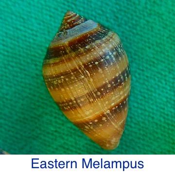 Melampus - Eastern ID