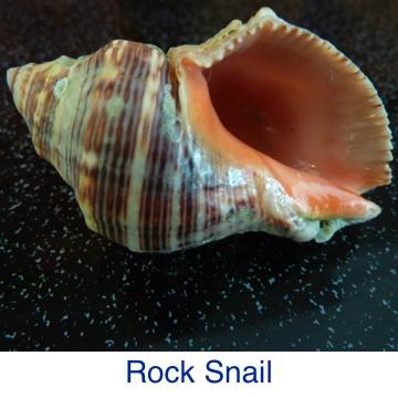 Rock Snail ID